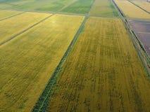 Växande ris på översvämmade fält Mogna ris i fältet, början av plockningen En fågelperspektiv Fotografering för Bildbyråer