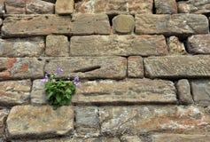 växande rockvägg för blomma Arkivfoto