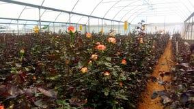 Växande rosor i växthus Fotografering för Bildbyråer