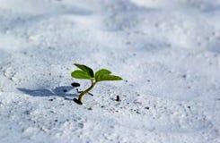 växande sandplanta Royaltyfria Foton