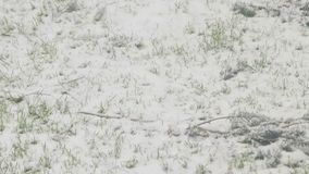 växande snow för gräs stock video