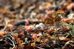 Växande tamarindfruktträd Royaltyfri Foto