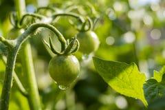 Växande tomat i lantgårdträdgård royaltyfri fotografi