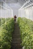 Växande tomat på en industriell skala Arkivbilder