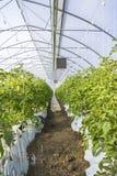 Växande tomat på en industriell skala Royaltyfri Bild