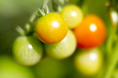 växande tomater Arkivbild