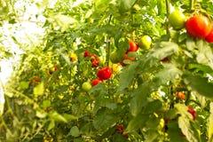 Växande tomater Royaltyfri Fotografi
