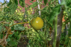 Växande tomater Royaltyfri Foto