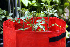 Växande tomater i plastpåsar Royaltyfri Fotografi