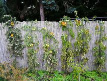Växande tomater på ett fält i gräsplan och nästan moget Royaltyfria Foton