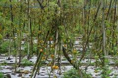 Växande tomater på ett fält i gräsplan och nästan moget Arkivbilder