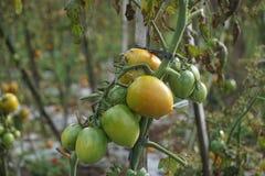 Växande tomater på ett fält i gräsplan och nästan moget Royaltyfri Foto