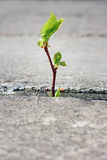 växande trottoartree för spricka Fotografering för Bildbyråer