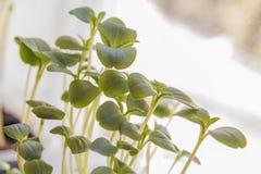 Växande unga grönsaker från nytt frö Början av livtillväxt Begrepp av evolution Royaltyfri Fotografi