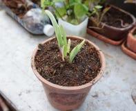 Växande växt för lök i kruka royaltyfria bilder