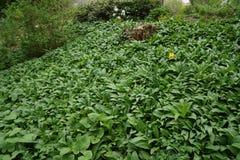 Växande växtbotanisk trädgård för blad fotografering för bildbyråer