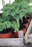 Växande växter för grönkålhem Royaltyfria Bilder