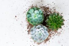Växande växter för suckulent Arkivbild