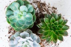 Växande växter för suckulent Royaltyfri Foto