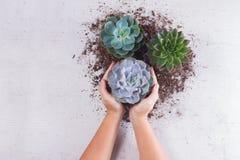 Växande växter för suckulent Royaltyfri Bild