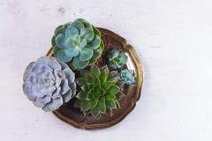 Växande växter för suckulent Arkivfoton