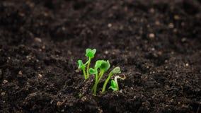 Växande växter i timelapse, växt för arugula för groddgroende nyfödd i växthusjordbruk stock video