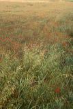 växande vallmor tuscany för fält Arkivbild