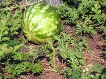 växande vattenmelon Fotografering för Bildbyråer