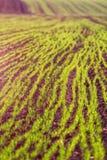 växande vete för fält arkivfoto