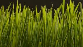 Växande vete kärnar ur åkerbruka Timelapse stock video