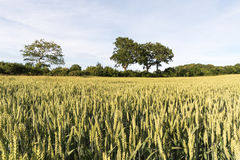 Växande vetekorn i ett fält Royaltyfri Bild