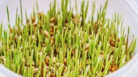 Växande vetekornplantor på fönsterbrädan i plast- krukor Återvinning och förfogande av plast- royaltyfri bild