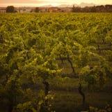 växande vines för chianti Royaltyfri Bild