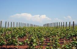 växande vines för druva Arkivfoton