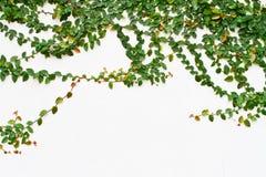växande vineväggwhite arkivbild