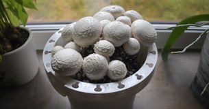 Växande vit plocka svamp hemma Arkivfoton