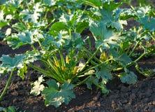 växande zucchini Arkivbild
