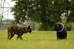 Växelverkan mellan hundkapplöpning Beteende- aspekter av djur Sinnesrörelser av djur arkivbild