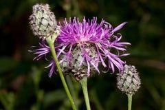 Växer den härliga blomman för tistel tre på en grön äng Levande natur Fotografering för Bildbyråer