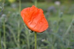 Växer den röda vallmo för den unga blomman upp royaltyfri fotografi
