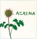 Växt Acaena Arkivfoto