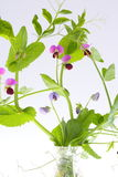 Växt av ärtan Fotografering för Bildbyråer