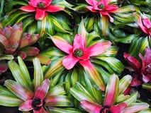 Växt av bromelior Royaltyfri Fotografi