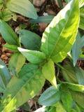 Växt av hönor arkivbild