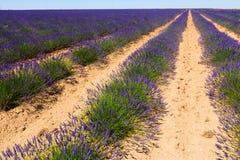 Växt av lavendel Royaltyfria Bilder