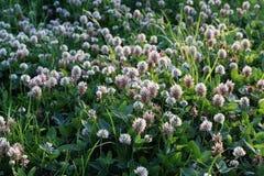 växt av släkten Trifoliumäng Arkivbilder