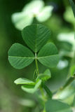 växt av släkten Trifolium Arkivbilder