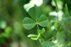 växt av släkten Trifolium Arkivfoto