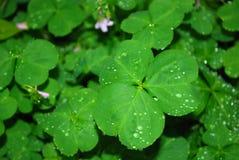 växt av släkten Trifolium Royaltyfria Bilder