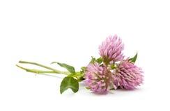 växt av släkten Trifolium Royaltyfri Foto